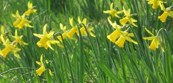 Narcissus pseudonarcissus (Osterglocke), © AnRo0002